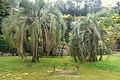 Butia eriospatha - Jardim Botânico da Universidade de Coimbra - Coimbra, Portugal - DSC08884.jpg