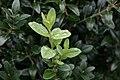 Buxus sempervirens Fastigiata 1zz.jpg