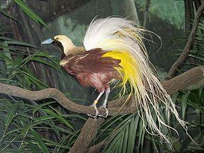 Kleiner Paradiesvogel (Paradisaea minor)