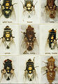 CSIRO ScienceImage 7008 A tray of sheep blowflies.jpg