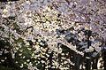 Cacade of cherry blossoms - 2013-04-09 (8634892351).jpg