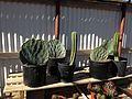 Cacti (11002879595).jpg