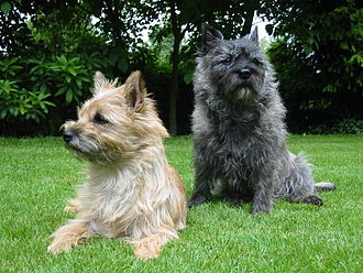 Cairn Terrier - Two Cairn Terriers showing variations in coat color.