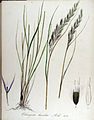Calamagrostis lanceolata — Flora Batava — Volume v13.jpg