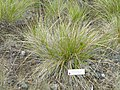 Calamagrostis ophitidis - University of California Botanical Garden - DSC09035.JPG