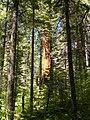 Calaveras Big Trees State Park - South Grove, CA - panoramio.jpg