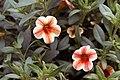 Calibrachoa Noa Amber Star 0zz.jpg