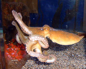 Santa Monica Pier Aquarium - This California Two-Spot Octopus is 3-4 months old.