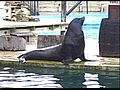 California sea lion (Flamingo Land resort, UK).jpg
