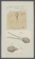 Caligus curtus - - Print - Iconographia Zoologica - Special Collections University of Amsterdam - UBAINV0274 100 03 0011.tif