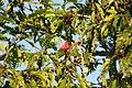 Calliandra haematocephala 13zz.jpg