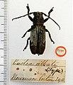 Callimetopus albata (Newman) (5189754330).jpg