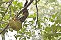 Callosciurus erythraeus thaiwanensis (34345567833).jpg