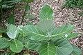 Calotropis gigantea 20zz.jpg