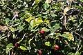 Camélia du Japon-Camellia japonica-Feuilles-Monção-20140911.jpg