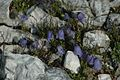 Campanula cochleariifolia (5009157928).jpg