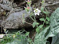 Campanula pallida Nepal.JPG