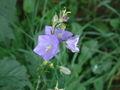 Campanula persicifolia 002.JPG