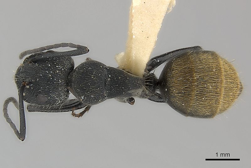 File:Camponotus chilensis casent0217624 dorsal 1.jpg