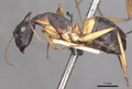 Camponotus consobrinus casent0910308 p 1 high.png