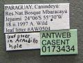 Camponotus novogranadensis casent0173434 label 1.jpg