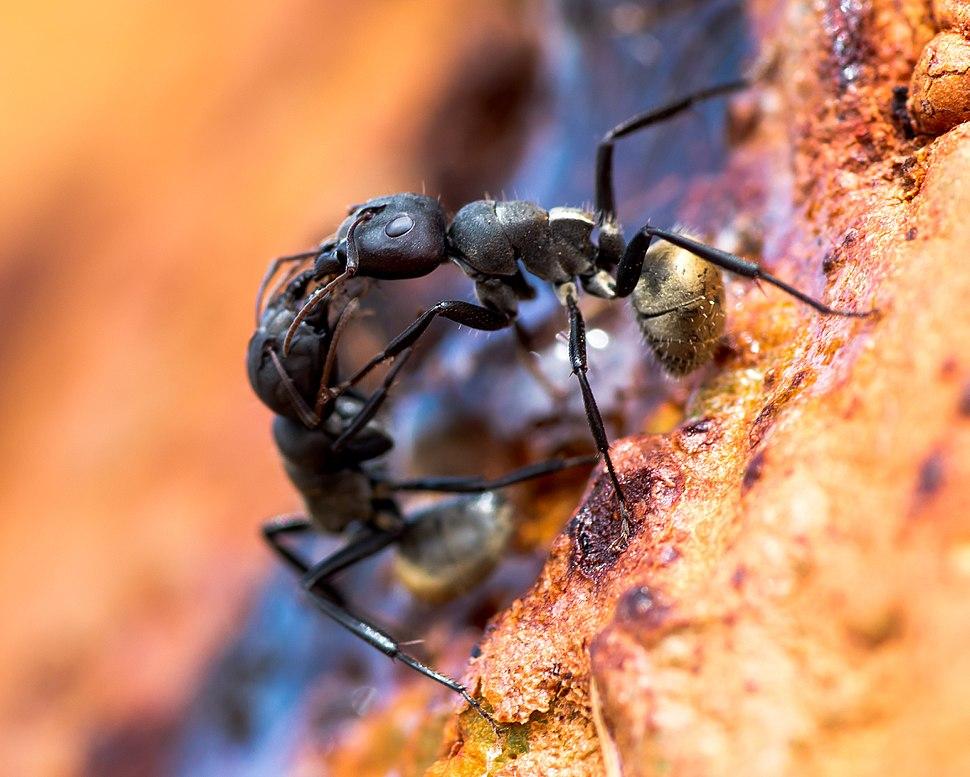 Camponotus sericeus Senegal