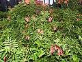 Campsis grandiflora-3-cubbon park-bangalore-India.jpg