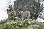 Canis Lupus Signatus.JPG