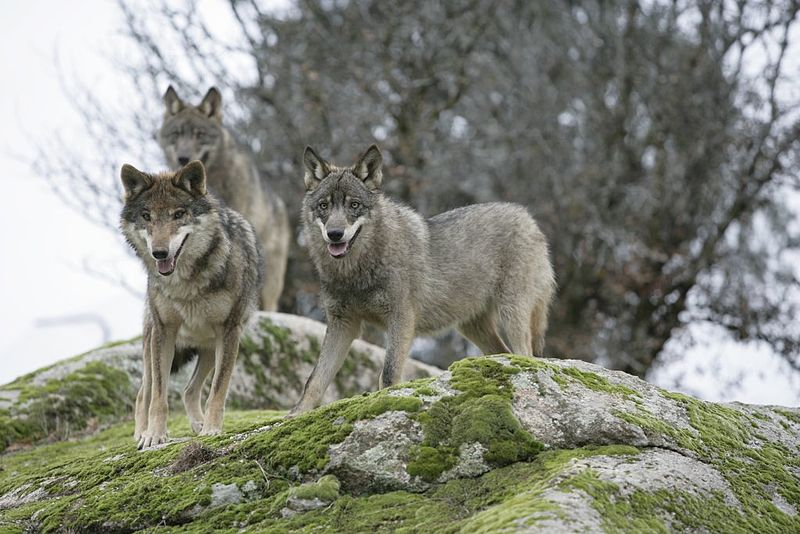 Matanza selectiva de lobos en Suecia