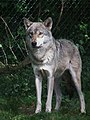 Canis lupus lupus Tiergarten Worms 2011.JPG