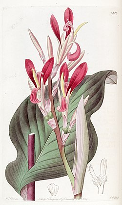 Canna indica (C. discolor) Edwards's Bot. Reg. 15. 1231. 1829.jpg