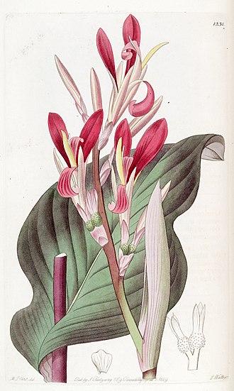 Canna indica - Canna indica (artist: (M. Hart)