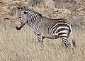 Cape Mountain Zebra (Equus zebra zebra) (31755788913).jpg