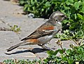 Cape Sparrow female RWD.jpg
