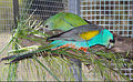 Captive Golden shouldered parrot pair..jpg