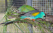 The females are green. The males are bright-blue with a black forehead, yellow shoulders, grey wings, and a red belly