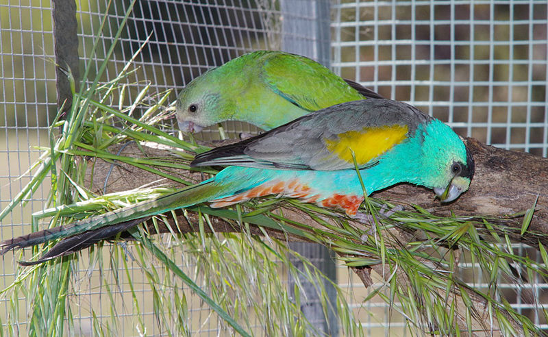 File:Captive Golden shouldered parrot pair..jpg