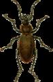 Carabus arvensis Jacobson.png