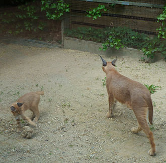 Caracal mother and kitten Caracal female and kitten playing.jpg