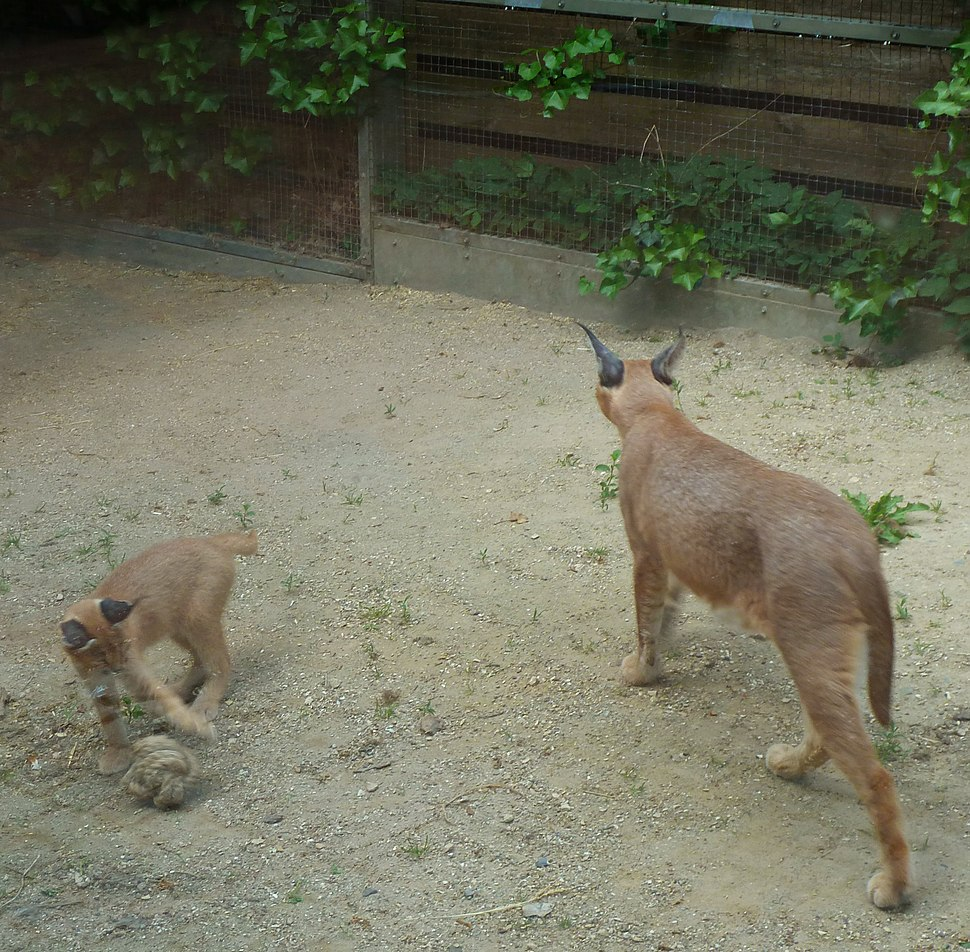 Caracal female and kitten playing