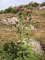 Carduus cephalanthus.jpg