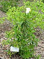 Carpenteria californica - University of California Botanical Garden - DSC09029.JPG
