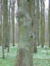 Carpinus betulus stamm.jpeg
