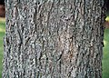 Carya illinoinensis (pecan tree) 6 (27881052379).jpg