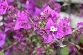 Caryophyllales - Bougainvillea glabra - 9.jpg