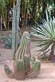 Caryophyllales - Echinopsis huascha - 1.jpg