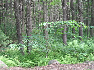 American chestnut - Young tree in natural habitat