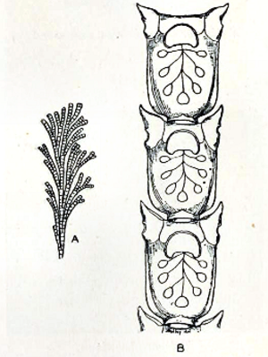 Catenicella - Catenicella ventricosa; A. natural size  B. magnified