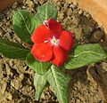 Catharanthus roseus-Red flowers of Madagascar Periwinkle.JPG