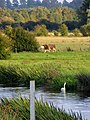 Cattle, swans, meadow, river - August 2012 - panoramio.jpg